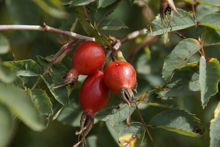 Rose Hip, Plant, Red, Fruit, Dog Rose, Sammelfrucht