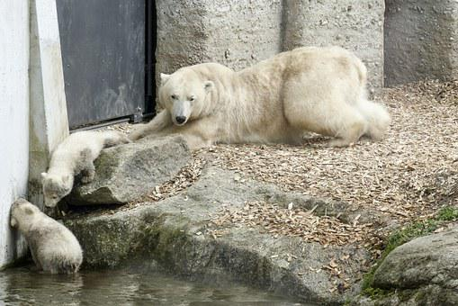Polar Bear, Female, Cubs, Animal, Mammal, Nature
