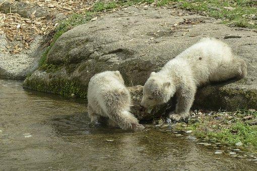 Polar Bear, Cubs, Animal, Mammal, Nature, Wildlife