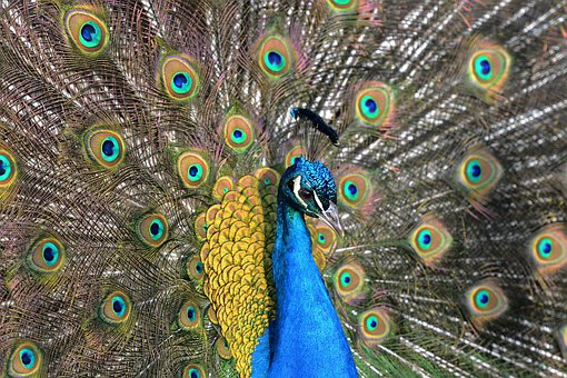 Peacock, Crowns, Feathers, Colors, Blue, Detail, Head