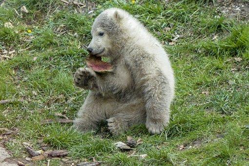 Polar Bear, Cub, Animal, Mammal, Nature, Wildlife