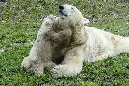 Polar Bear, Female, Cub, Animal, Mammal, Nature