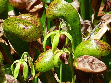 Pitcher, Plant, Carnivorous Plant, Carnivorous