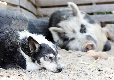 Animal, Bacon, Big, Boar, Clean, Cute, Dirty, Dog, Ear