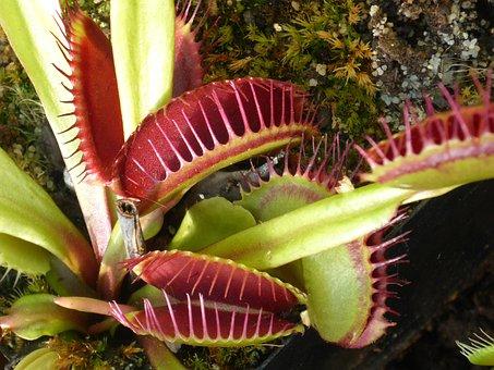 Venus Flytrap, Carnivorous, Plant, Case, Prey, Insect