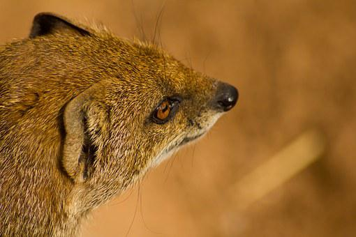 Mongoose, Animal, Wildlife, Mammal, Nature, Natural
