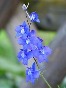 Flower, Blossom, Bloom, Blue, Garden Feldrittersporn