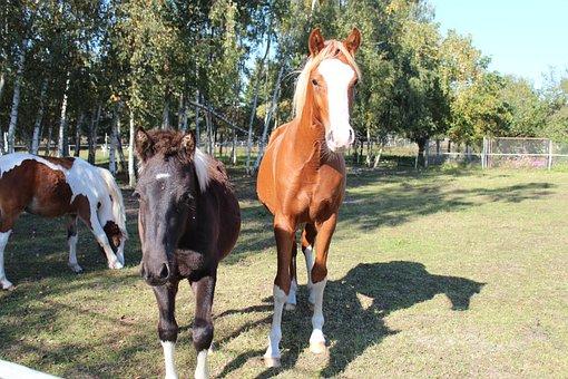 Horse, German Reitponny, Pony, Foal, Blaze, Stallion