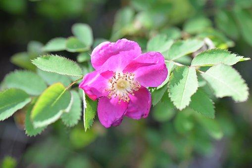 Rose Hip, Blossom, Bloom, Leaves, Close