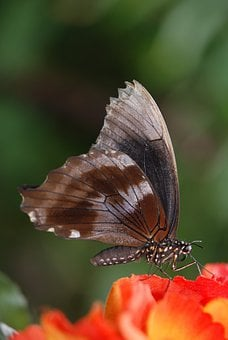 Butterfly, Animal, Insect, Elymnias Hypermnestra