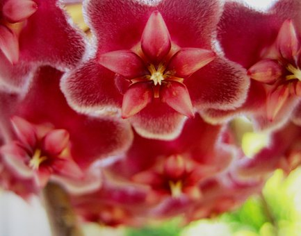 Waxplant, Flowerhead, Hoya, Pink, Velvety, Waxlike