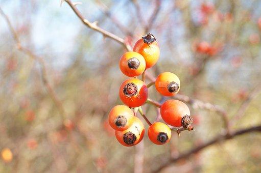 Rose Hips, Macro, Hip, Autumn, Twig