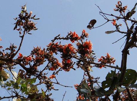 Wildflower, Butea Monosperma, Flame Of The Forest