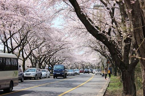 Jeju Island, Cherry Blossom, Cheju National University