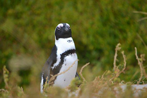 South Africa, Cape, Penguin