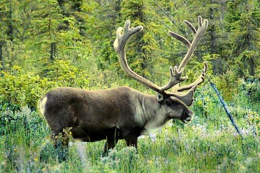 Caribou, Meadow, Alaska, Mammal, Nature, Wildlife