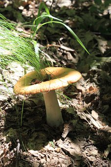 Brittlegill, Foetens, Inedible, Poisonous, Russula