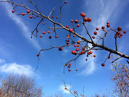 Crab Apples, Fruit, Branch, Tree, Autumn, Sky