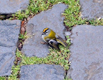Firecrest, Bird, Songbird, Kinglet, Animal, Nature