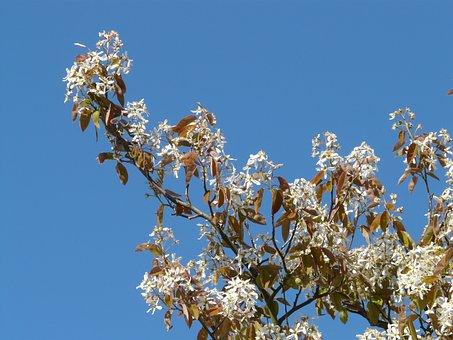 Star Magnolie, Magnolia Stellata, Tree, Bush, Magnolia