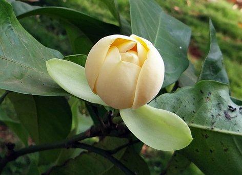 Magnolia, Flower, Blossom, Plant, Egg Magnolia