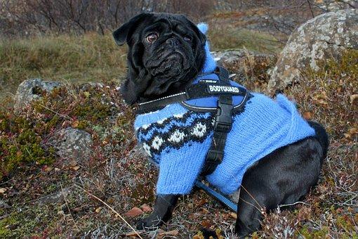 Pug, Dog, Clothing, Blue, Jacket, Cute, Canine