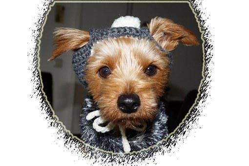 Dog, Clothing, Yorkshire Terriers, Terrier