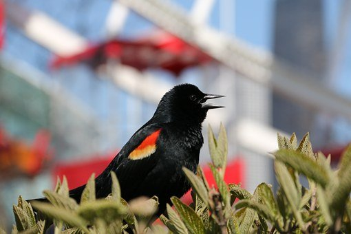 Red-winged Blackbird, Sparrow Bird, Red-winged