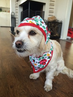 Dog, Funny Dog, Dog In Clothes, Surprised Dog, Pets