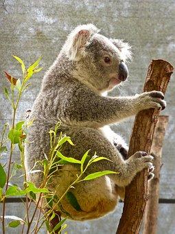 Koala, Bear, Australian, Eucalyptus, Cute, Marsupial