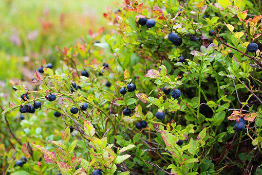 Blueberries, Heather, Blueberry, Plant, Blue, Food