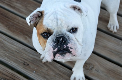Bulldog, Dog, Pet, Breed, Pedigree, Animal, Funny