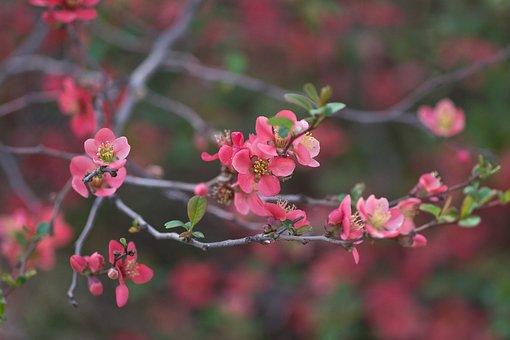 Japanese Quince, Chaenomeles, Flowering, Bush, Shrub