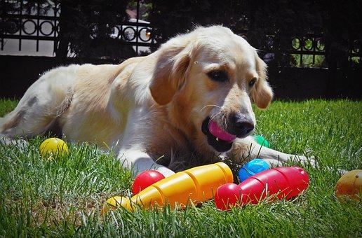 Retriever, Golden, Play, Pet, Dog, Doggy, Grass