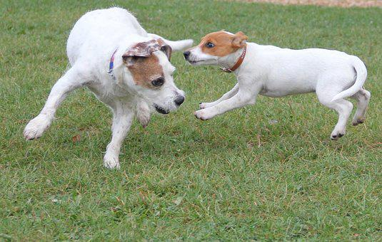 Playing Dogs, Jack Russel, Terrier, Dogs, Animals