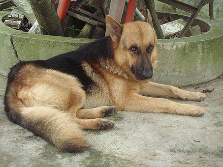 Dog, Shepherd, German, Pet, Canine, Animal, Domestic