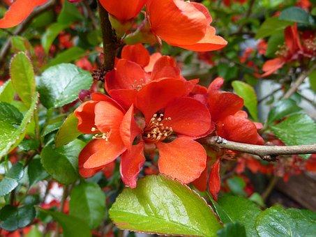 Quince Flower, Garden Shrub, Orange, Ornamental Shrub