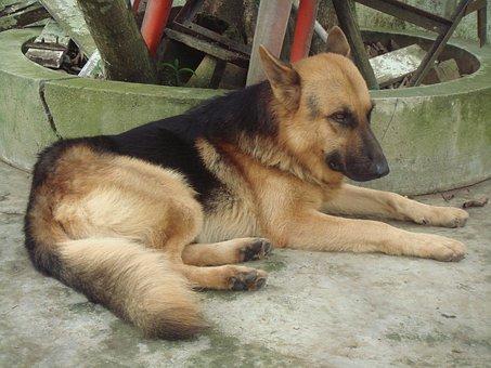 Dog, Shepherd, German, Mammal, Domestic, Sleeping