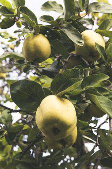Quince, Fruit, Tree, Fruits, Yellow, Harvest