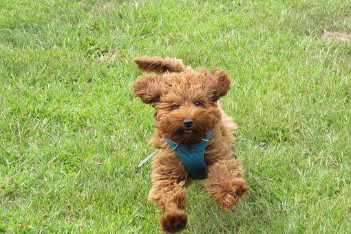 Labradoodle, Doodle, Dog, Dog Park, Rocky Hill, Pet