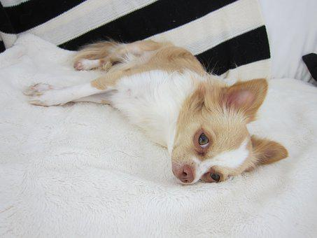 Chihuahua, Dog, Pet, Animal, Cute, Puppy, Doggy