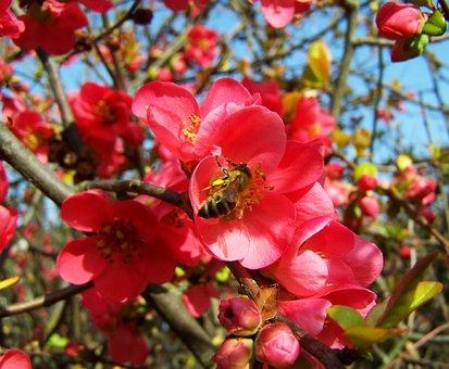 Flowering Quince Japan, Pink Spring Flowers, Shrub