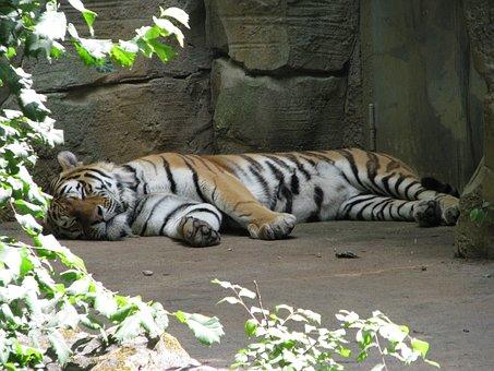 Tiger, Sleep, Rest, Animal, Lazy, Zoo, Easily, Concerns