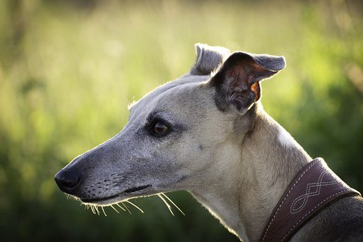 Dog, Whipet, Hound, The Head Of Greyhound Racing