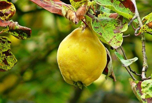 Quince, Fruit, Pome Fruit, Yellow, Nutrition Plant