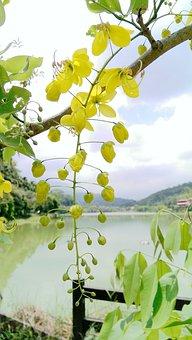 Golden Rain Tree, Kim Woo, Flower, Cassia Fistula