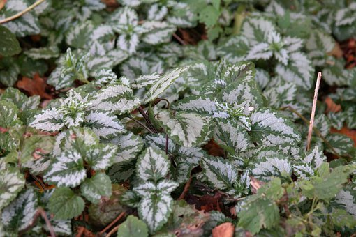Ground Cover, Ordinary Goldnessel, Leaves, Green, White