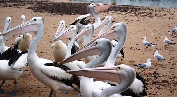 Pelicans, Australian Pelicans, Water Birds, Birds