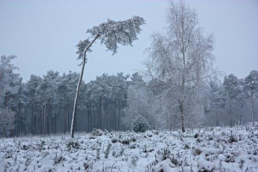 The Winter's Tale, Wintry, Forest, Winter, Pine Forest