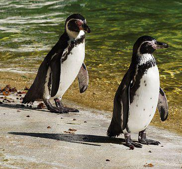 Penguin, South Africa, Aves, Animals, Animal